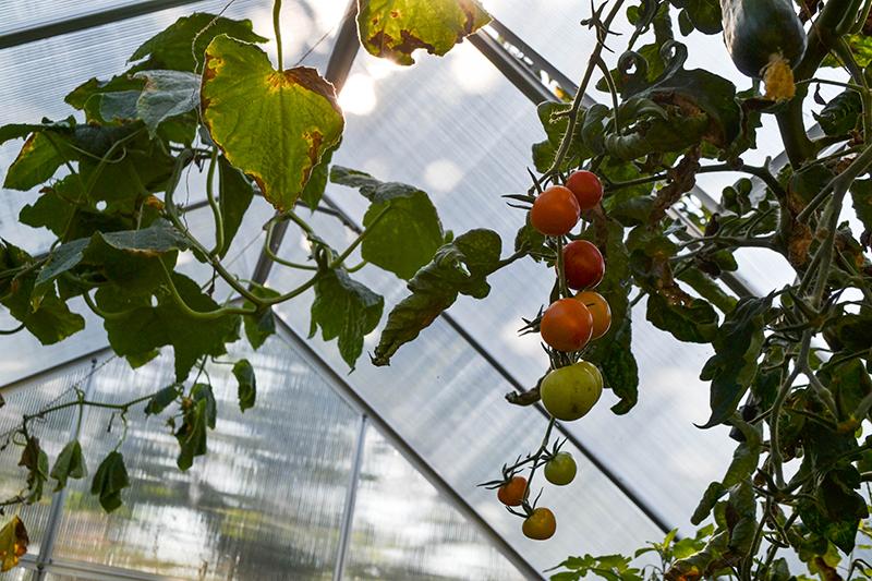 Gartenarbeit im Frühjahr, Tomaten im Gewächshaus