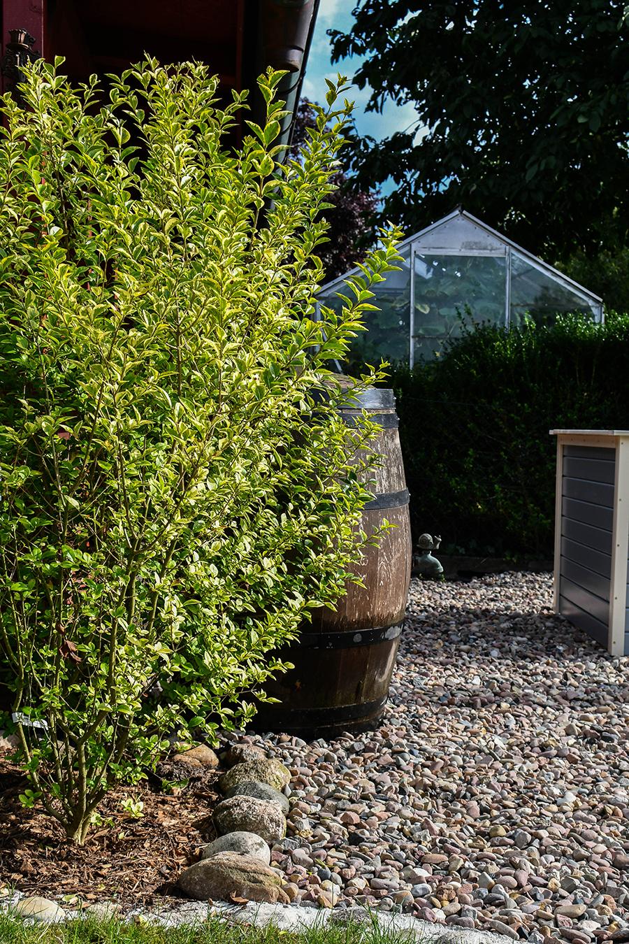 Heckenpflanzen für den Sichtschutz und Beeteinfassungen
